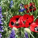 papaveri_ladybird