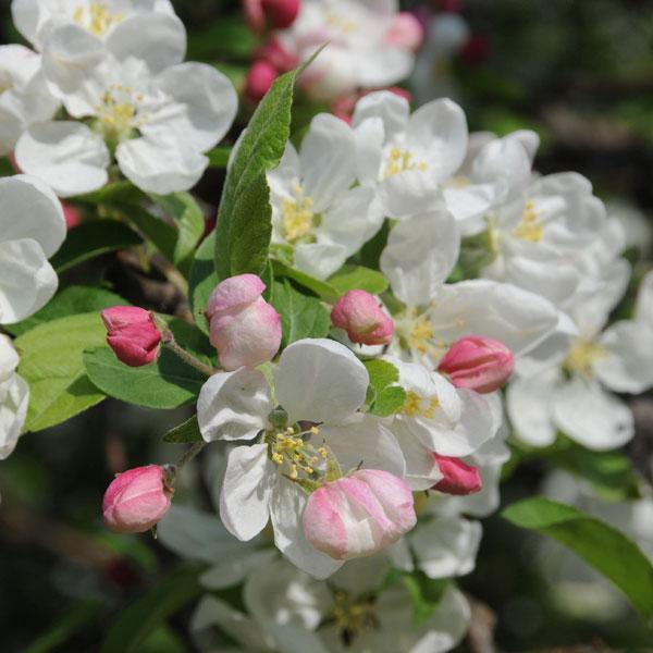 Melo da fiore e da frutto  Fiori e Foglie