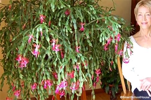 Cactus Di Natale.Il Cactus Di Natale Che Ha Compiuto 100 Anni Fiori E Foglie
