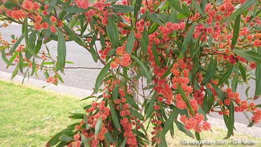 Arbusto Boschivo Dai Fiori Gialli.Caccia Alla Rara Mimosa Rossa Fiori E Foglie