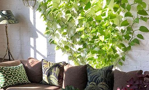 Piante Verdi Rampicanti Da Appartamento.Ricadenti E Rampicanti Conquistano Pareti E Soffitti Di Casa