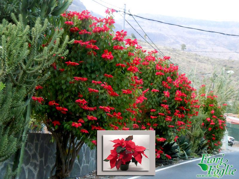 Le stelle di natale grandi come alberi fiori e foglie for Alberi in vendita