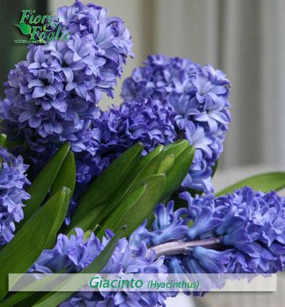 Come si chiama diamo un nome a fiori e piante fiori e for Fiori a grappolo