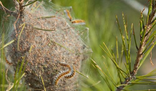 Bruchi sui pini pericolosi per bimbi e animali domestici for Nei progetti domestici di terra