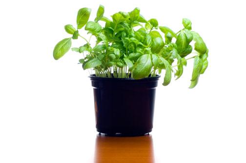 Ho comprato il vasetto di basilico e adesso fiori e foglie for Semina basilico in vaso