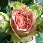 rosa_donne_ditalia1