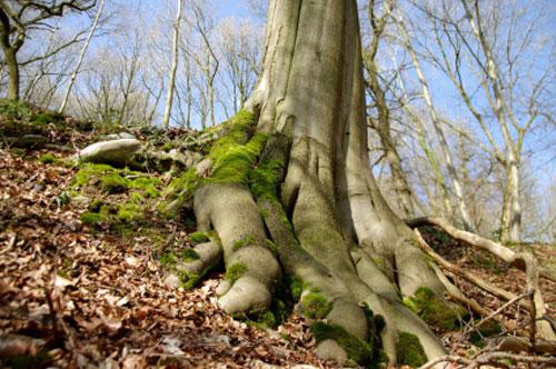 radici albero500 Al via le multe per la tutela degli alberi monumentali