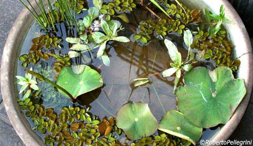 Laghetti Da Giardino In Plastica.Mini Pond Il Micro Laghetto In Un Vaso Fiori E Foglie