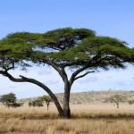 acacia_africana500