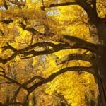 faggio_autunno500