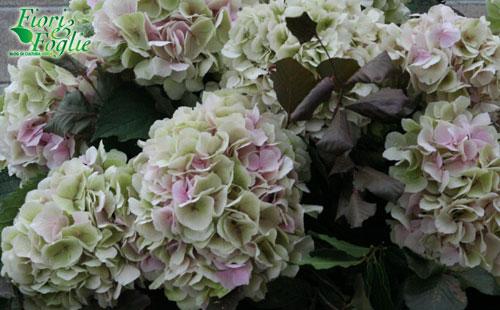 Ortensie Rosa Cipria : Ortensie quot vintage per matrimoni con charme fiori e foglie