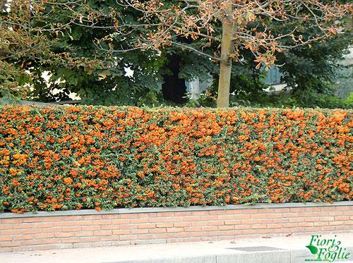 Piracanta la siepe d 39 autunno che si riempie di bacche for Siepe in vaso