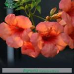 fiori_gallery_bignonia
