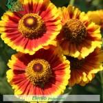 fiori_gallery_elenio