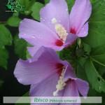fiori_gallery_ibisco