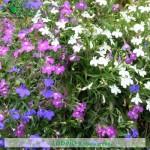 fiori_gallery_lobelia