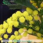 fiori_gallery_mimosa