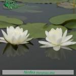 fiori_gallery_ninfea