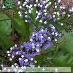 fiori_gallery_statice