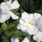 gardenia_crownjewel500