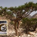 incenso_albero520
