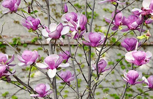 Ha Fiori Bianchi E Rosa.Magnolia Da Fiore Coltiviamola In Terrazzo Fiori E Foglie