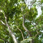albero200