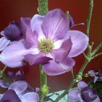 magnolia_cleopatra500