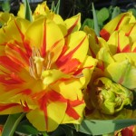 multiflora2_520