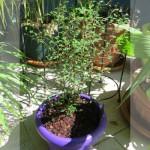 sophora_littlebaby520
