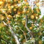 albero_oro520