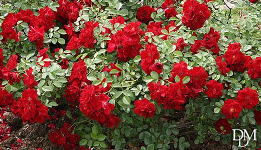 Rose_cespuglio520