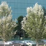 alberi_citta