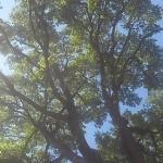 alberi_edera_stefanolorenzi