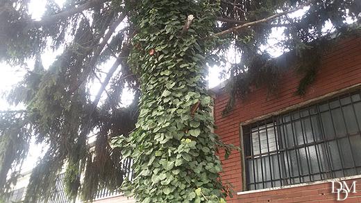 albero_edera520