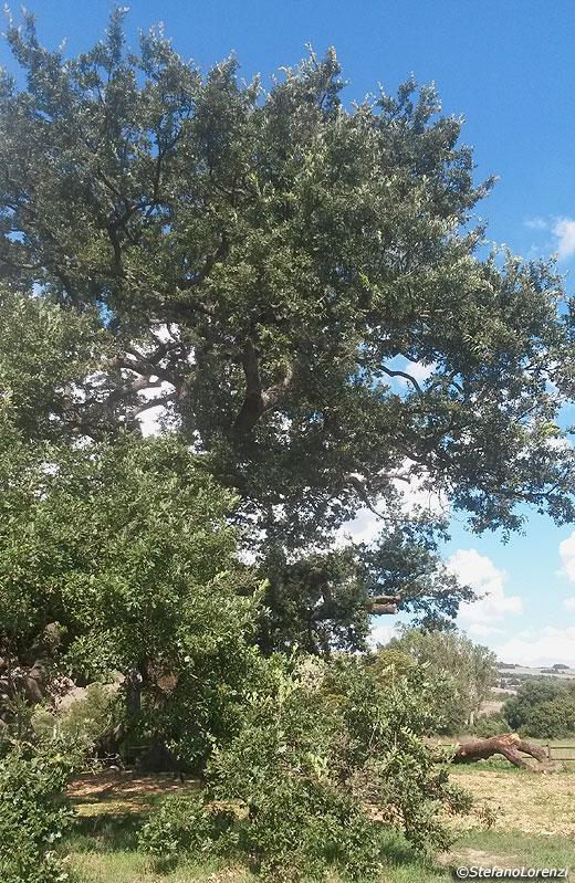 L 39 edera si arrampica sugli alberi va tolta o no fiori for Alberi simili alle querce