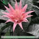 fiori_gallery_aechmea