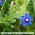 fiori_gallery_anagallis