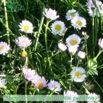 fiori_gallery_bellis