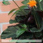 fiori_gallery_calathea