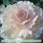 fiori_gallery_cavolo
