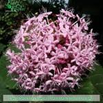 fiori_gallery_clerodendro_b