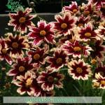 fiori_gallery_coreopsis