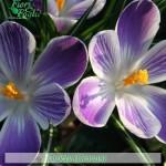 fiori_gallery_crocus