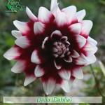 fiori_gallery_dahlia