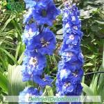 fiori_gallery_delphinium