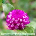 fiori_gallery_gomphrena