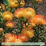 fiori_gallery_leucospermum