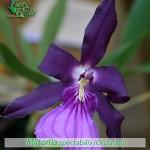 fiori_gallery_miltonia