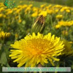fiori_gallery_tarassaco
